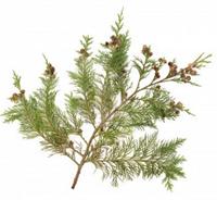 wisdomtrees-cedar-leaf